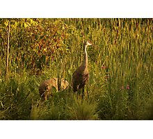 Sandhill Cranes on shore of Lake Photographic Print