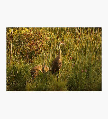 Sandhill Cranes on shore of Lake Photographic Print
