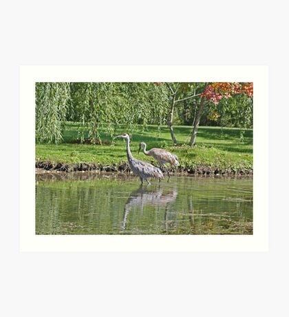 Sandhill Cranes Wading in Shallows Art Print