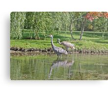 Sandhill Cranes Wading in Shallows Metal Print