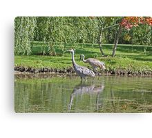 Sandhill Cranes Wading in Shallows Canvas Print