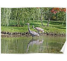 Sandhill Cranes Wading in Shallows Poster
