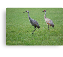 Sandhill Cranes in Grass Field Canvas Print