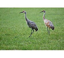 Sandhill Cranes in Grass Field Photographic Print