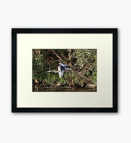 Great Blue Heron Flying Framed Print