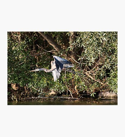 Great Blue Heron Flying Photographic Print