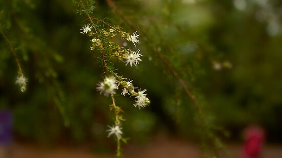 Tree Blossom Dew by Chris Hood