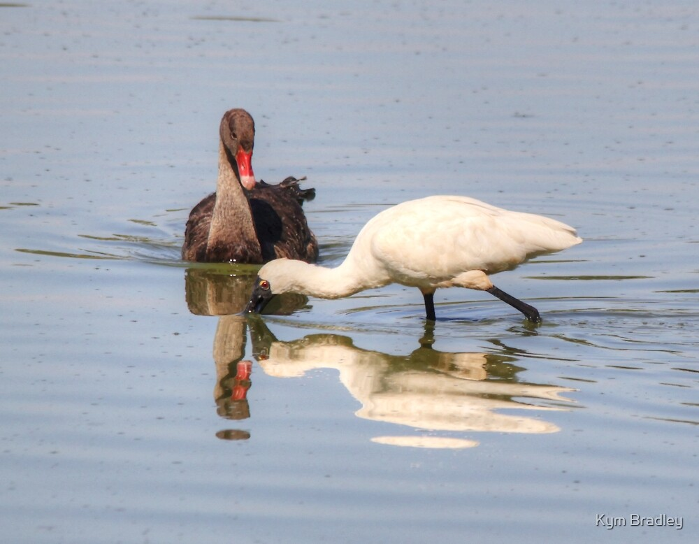 Baby Swan and Spoonbill meet by Kym Bradley