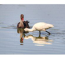 Baby Swan and Spoonbill meet Photographic Print