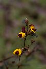 Broad Leafed Brown Pea (Bossiaea ornata) by Elaine Teague