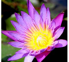 Water Lily in Purple Photographic Print