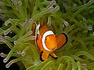 Anemonefish by Henry Jager