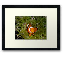 Anemonefish Framed Print