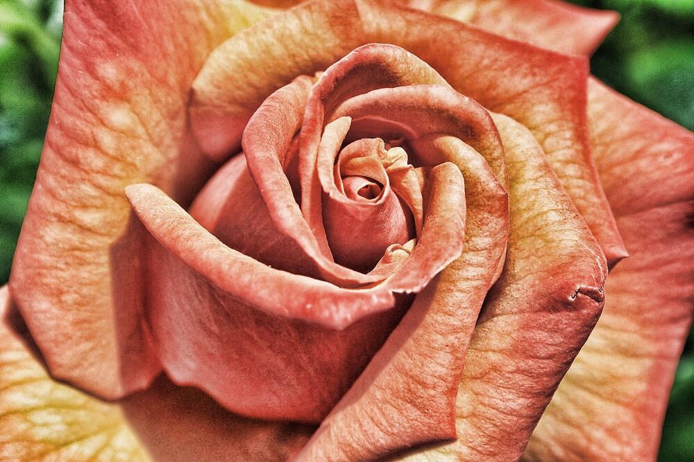 English Rose by Dave Godden