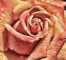 English Rose by Dave Godden