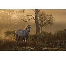 The New Forest pony Photographic Print