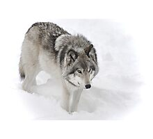 Timber Wolf aka Grey Wolf Photographic Print
