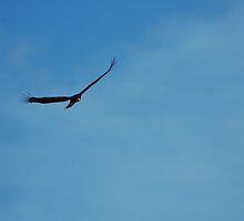 Black Vulture - MINWR by flbikerchick