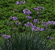 The colour of Chives by R-Summers