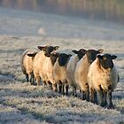 Sheep - The Daily Commute by Lisa  Baker-Richardson