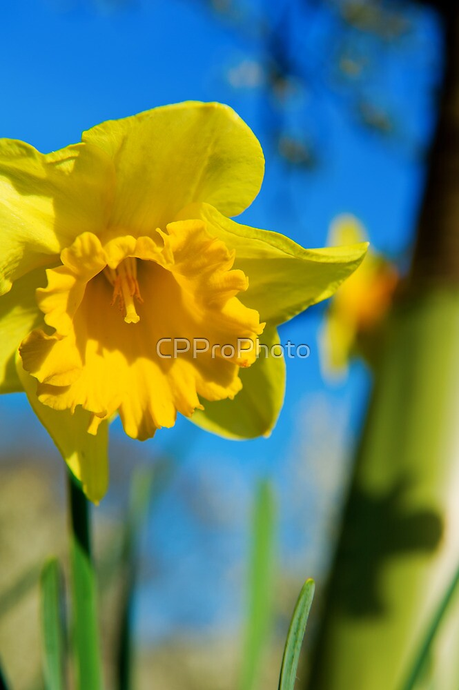 Daffodil by CPProPhoto