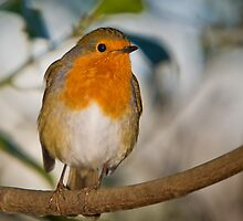 Robin Red Breast by CPProPhoto