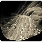 Leaf with water drops by Anton Belovodchenko