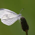 Wood White Butterfly by Lisa  Baker-Richardson
