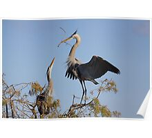 Nesting great blue herons Poster
