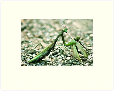 Female praying mantis eating male one by pahas