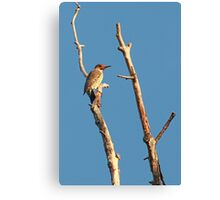 Northern Flicker ~ Canvas Print