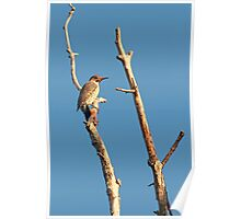 Northern Flicker ~ Poster