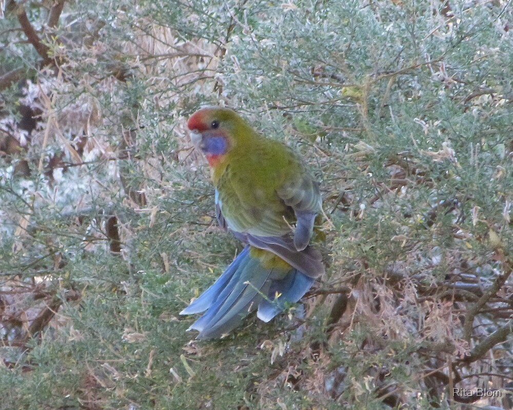 Did you Take the image of my Tail?! Adelaide Rosella, Adelaide Hills, Sth.Aust. by Rita Blom