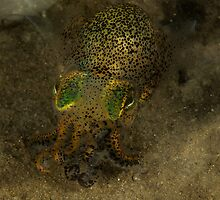 Bobtail Squid, Gold Coast Seaway, Queensland, Australia by Deb Aston