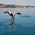 Pelican going for a Fish by Alastair Creswell
