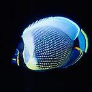 Reticulated Butterflyfish, Vanuatu by Erik Schlogl
