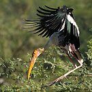 """""""A painted stork in flight."""" by debjyotinayak"""