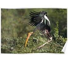 """A painted stork in flight."" Poster"