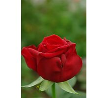 The Kiss of a Rose Photographic Print