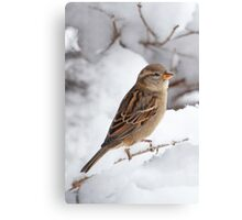 Winter Sparrow ~ Canvas Print