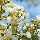 Frilly Natchez Crape Myrtle by Dawne Dunton