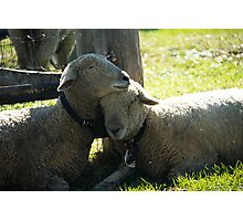 Love Ewe Sheep Photographic Print