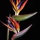 BIRD OF PARADISE PLANT by GillianSweeney