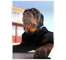 Regal and Proud Male Rottweiler Portrait Poster
