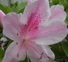 Pink spotted flower by agrusag