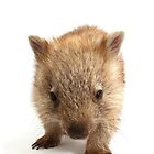 A wombat Happy Birthday 1P by Gerry Pearce