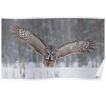 Great Gray Owl Moving In... Poster