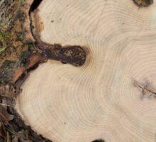Top view of a big cut tree Sticker