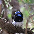 Sunlands Blue Wren (male) by Ron  Summers