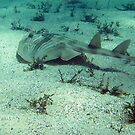 Banjo Shark by springs